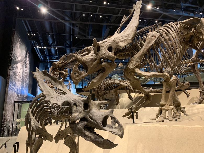 The skeletons of an adult and juvenile Utahceratops, four-legged dinosaurs with multiple horns on their skulls.