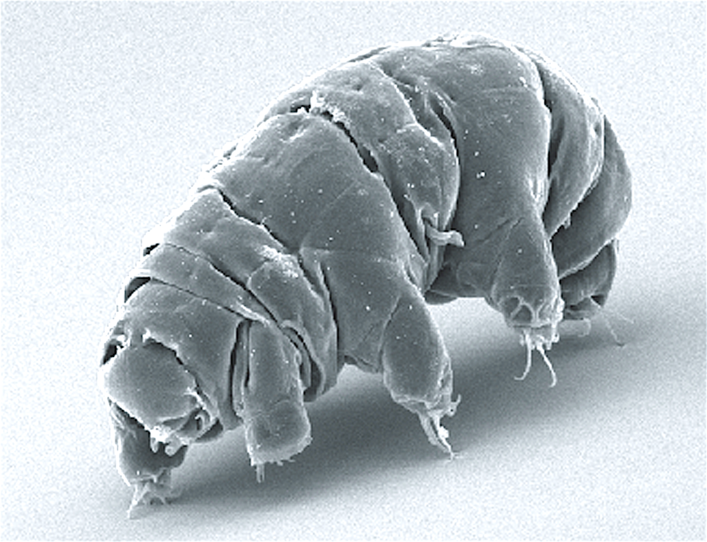 A close up of a water bear, a lumpy microscopic organism with multiple legs.